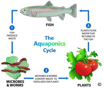 aquaponics-cycle.jpg
